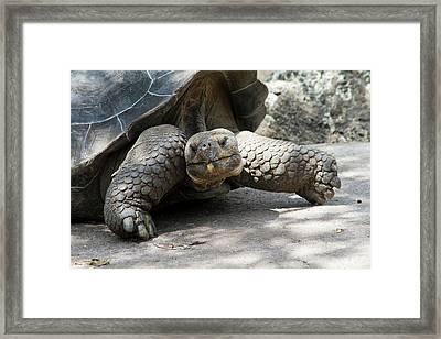 Giant Tortoise In Highlands Of Floreana Framed Print by Diane Johnson