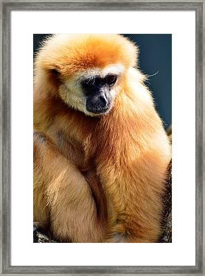 Gibbon Monkey  Framed Print