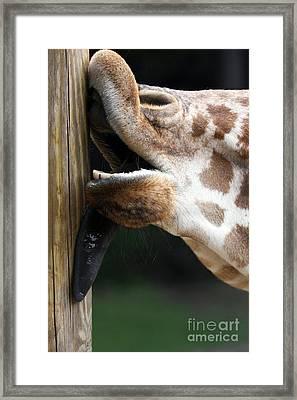 Giraffe Licking A Pole Framed Print