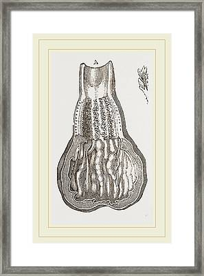 Glands Of Stomach In Birds Framed Print by Litz Collection