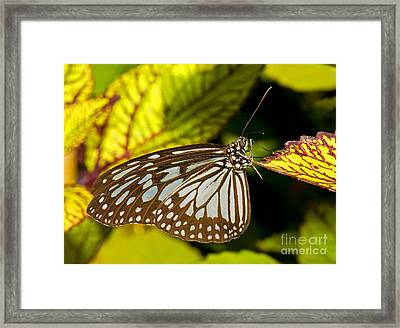 Glassy Blue Tiger Butterfly Framed Print