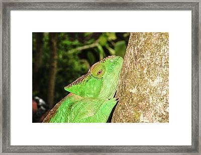 Globe-horned Chameleon Framed Print by Photostock-israel