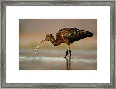 Glossy Ibis Feeding On Freshwater Snails Framed Print by Tony Camacho