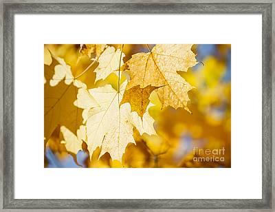 Glowing Fall Maple Leaves Framed Print by Elena Elisseeva