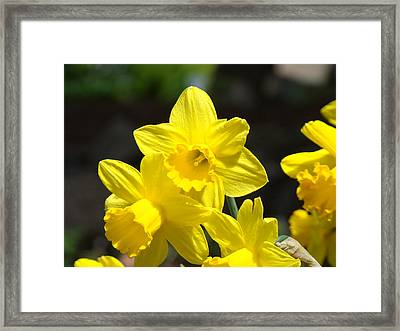 Glowing Yellow Daffodil Flowers Art Prints Spring Framed Print by Baslee Troutman