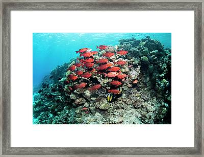 Goggle Eyes On A Reef Framed Print