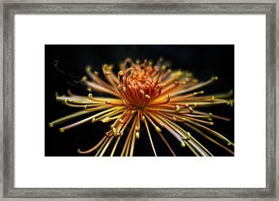 Golden Chrysanthemum Framed Print by Jessica Jenney