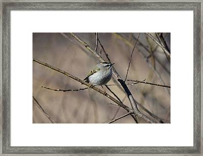 Golden-crowned Kinglet Framed Print by James Petersen