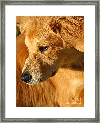 Golden Framed Print by Darren Fisher