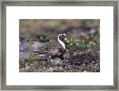 Golden Plovers Framed Print