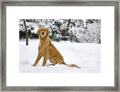 Golden Retriever In Snow Framed Print by Johan De Meester