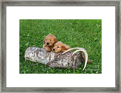 Golden Retriever Puppies Framed Print by Linda Freshwaters Arndt