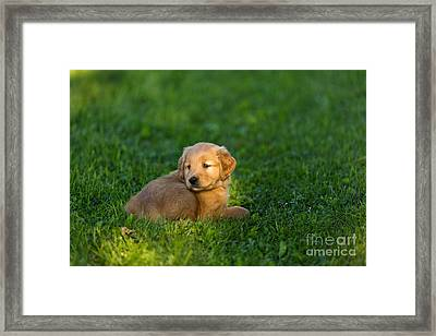 Golden Retriever Puppy Framed Print by Linda Freshwaters Arndt