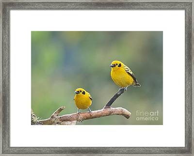 Golden Tanagers Framed Print