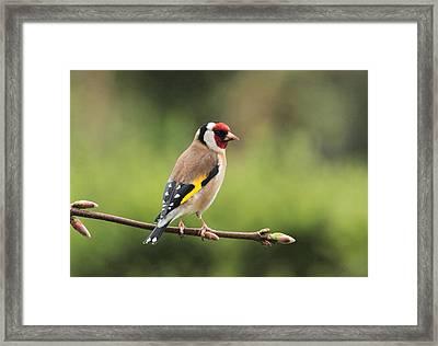 Goldfinch Framed Print by Peter Skelton