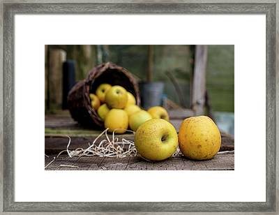 Goldrush Apples Falling From A Basket Framed Print
