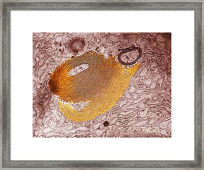 Golgi Apparatus, Em Framed Print by David M. Phillips