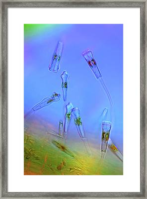 Gomphonema Diatoms Framed Print