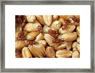 Grain Weevil Framed Print
