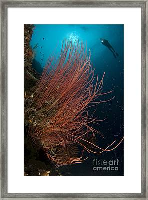 Grand Sea Whip With Diver Framed Print by Steve Jones
