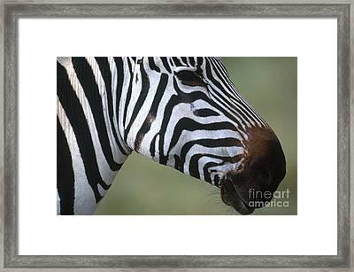 Grants Zebra Framed Print by Art Wolfe
