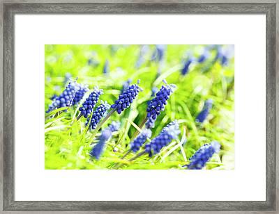 Grape Hyacinth Flowers Framed Print by Wladimir Bulgar