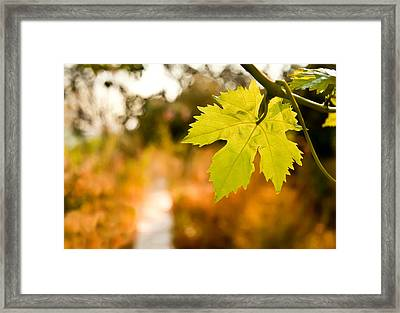 Grape Vine By A Path In A Garden Framed Print by Leyla Ismet