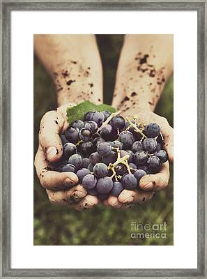 Grapes Harvest Framed Print by Mythja  Photography