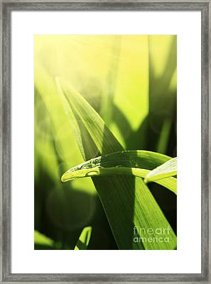 Grass Macro Framed Print by Mythja  Photography
