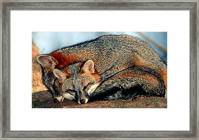 Gray Foxes Framed Print