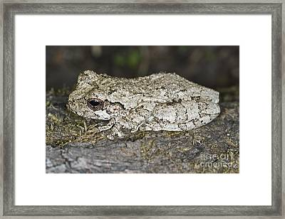 Gray Treefrog Framed Print by Clay Coleman