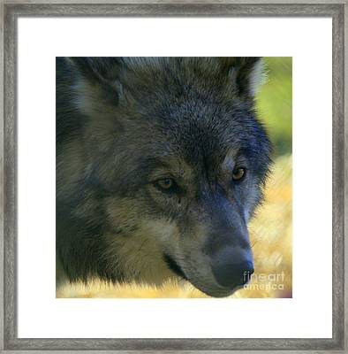 Gray Wolf Framed Print