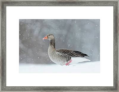 Graylag Goose (anser Anser Framed Print