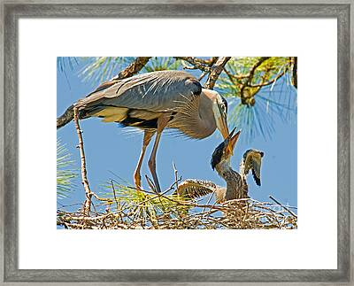 Great Blue Heron Adult Feeding Nestling Framed Print by Millard H. Sharp