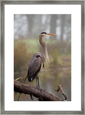 Great Blue Heron Framed Print by Doug Herr