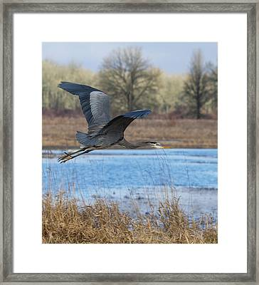 Great Blue Heron In Flight Framed Print by Angie Vogel