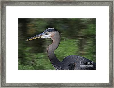Great Blue Heron Framed Print by Kevin McCarthy