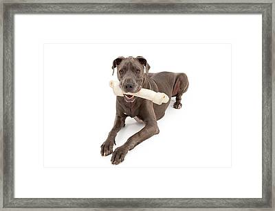 Great Dane Dog With Large Bone Framed Print by Susan Schmitz