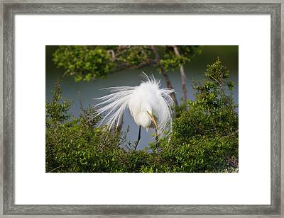 Great Egret (ardea Alba Framed Print