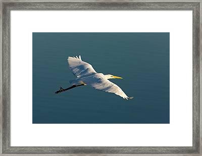Great Egret Framed Print by Bob Gibbons