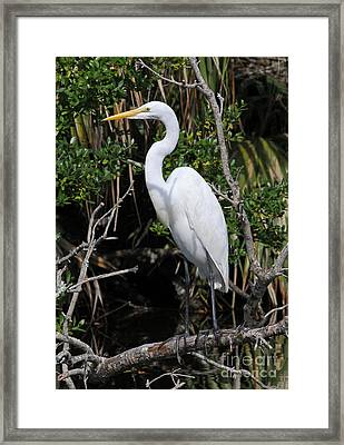 Great Egret Perched In Fallen Tree Framed Print