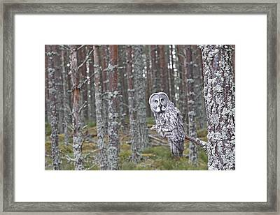 Great Grey Owl Framed Print by M. Watson