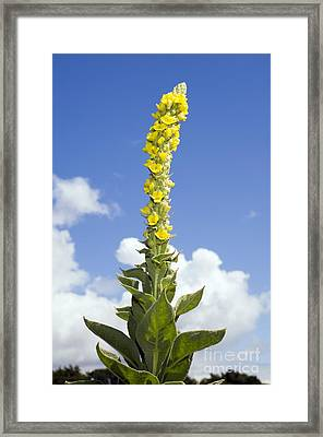 Great Mullein Verbascum Thapsus Framed Print