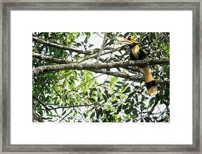 Great Pied Hornbill Framed Print