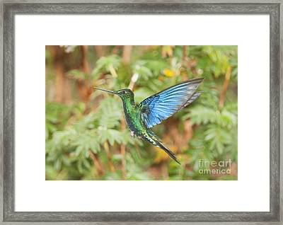Great Sapphirewing Hummingbird Framed Print