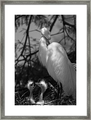 Great White Egret Mom And Chicks - Hey Hungry Chicks Down Here Framed Print by Suzanne Gaff