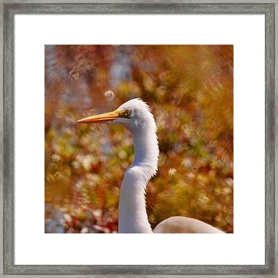 Great White Egret Framed Print by Suzi Harr