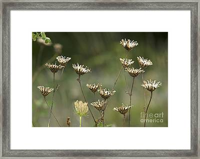 Greater Knapweed Seed Heads Framed Print by Bob Gibbons