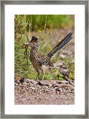 Greater Roadrunner (geococcyx Framed Print
