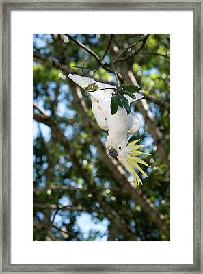 Greater Sulphur-crested Cockatoo Framed Print